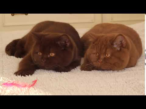 "Cattery ""Your Honor""   British Shorthair kittens, color chocolate and cinnamon"
