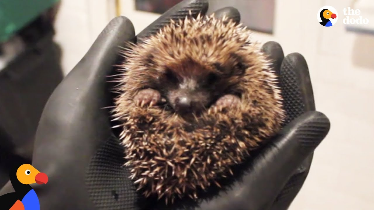Hedgehog Hospital Run By Woman In Her Home