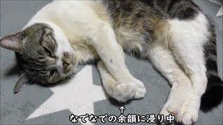 なでなでを待つ姿が健気すぎて可愛い猫リキちゃん☆アピールの仕方がすごすぎるw【リキちゃんねる 猫動画】Cat video キジトラ猫との暮らし