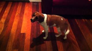 Toby A Beagle X Jack Russell Doing Tricks