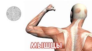 видео Виды сокращения мышц