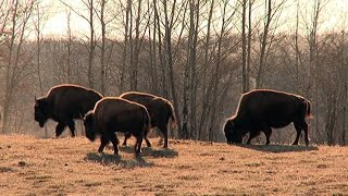Alberta, bison return to ancestral Montana home