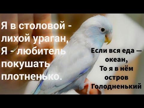воробьиный попугай хомячит forpus coelestis