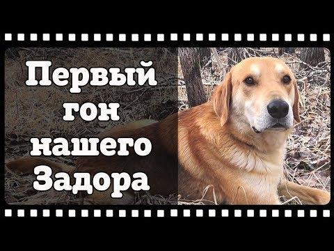 """Русская гончая по кличке """"Задор"""". Работа по зайцу беляку."""