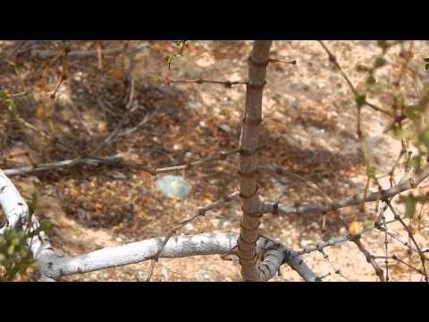 PART 1/2 NATIVE PEYOTE SEARCH TEXAS DESERT LOPHOPHORA WILLIAMSII