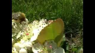 Aronia uprawa kwitnienie