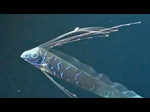 Facts: The Oarfish