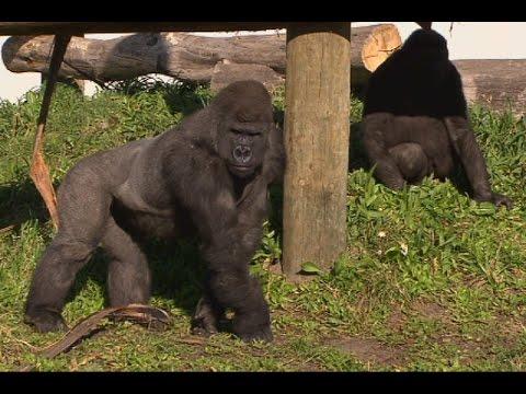 Ronnie meets Orana Park's Gorillas!