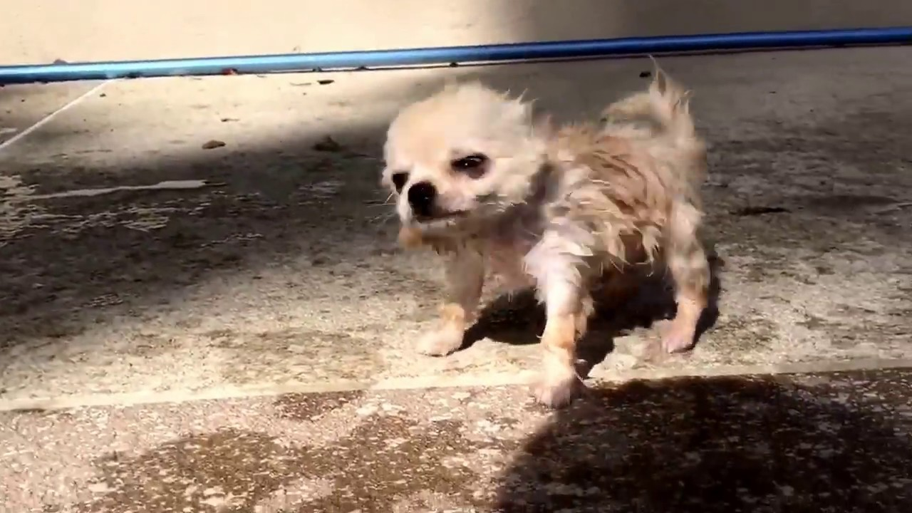 This Chihuahua Puppy Who Thinks Shes A Goat is Hilariously Adorable advise