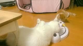 弟分に間違った遊び方を教える兄猫