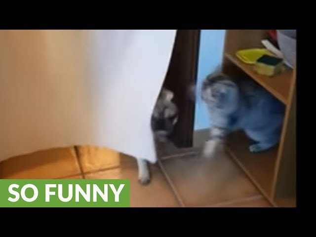 Cat ambushes pug every time he walks through curtain