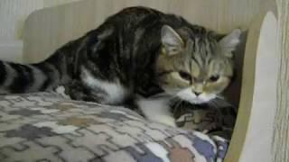Кошка смешно топчет лапами