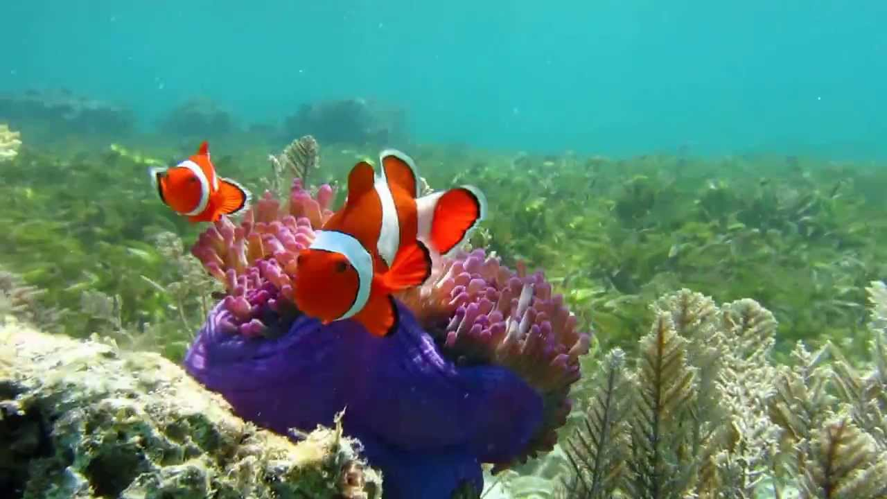 Clown fish in natural habitat part 2 youtube for Clown fish habitat