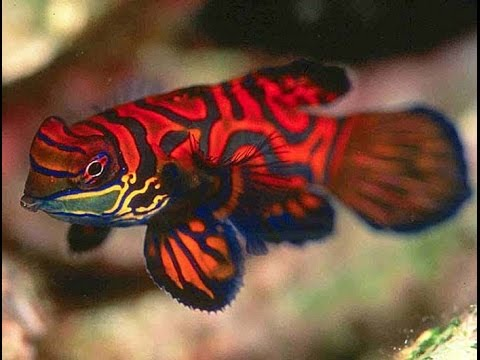 Aqua Culture Dragonette - How To Train Your Mandarin Goby To Eat Froozen Food