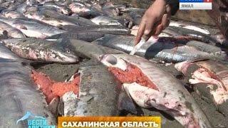 Как на Сахалине ловят браконьеров(Подробнее: http://vesti-yamal.ru/ru/vesti_arktiki/politseyskie_na_vertolete_kak_na_sahaline_lovyat_brakonerov149570., 2015-09-19T07:54:44.000Z)