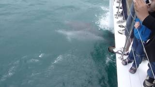 Dolphins Surfing the Bow Wave of a Catamaran
