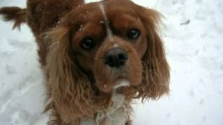 Cavalier King Charles Spaniel Facts - Facts About Cavalier King Charles Spaniels