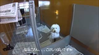 ナナコの仔犬達が元気に動き回っている動画です。