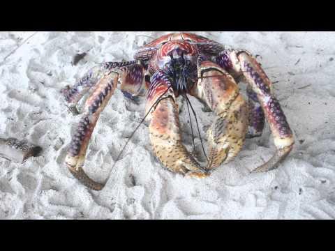Feeding Robber Crabs