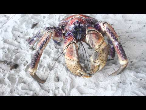 Absurd Creature of the Week: Enormous Hermit Crab Tears Through Coconuts, Eats Kittens