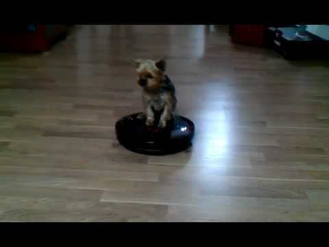 Dog Meets Robot Vacuum Cleaner Youtube