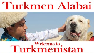 Alabai is a national treasure of Turkmenistan
