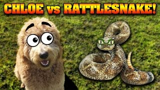 CHLOE vs. THE RATTLESNAKE!!!