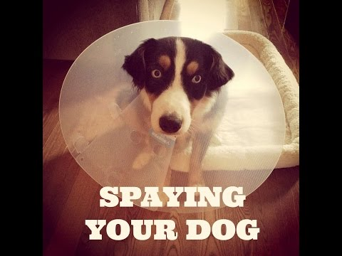 Spaying your Dog: Tips for Before and After Surgery