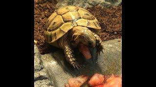 greek tortoise eating tomatoes…