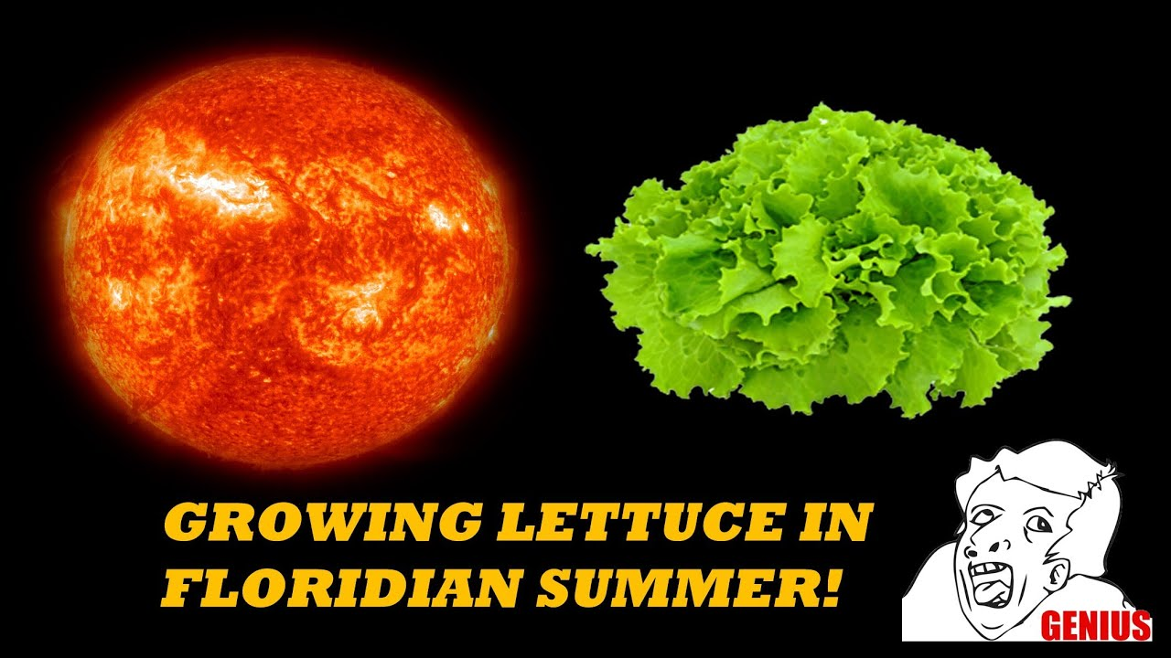 Growing Lettuce In South Florida Heat