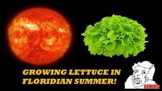 Growing lettuce in South Florida HEAT?!