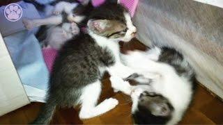 子猫4匹の大ケンカで鳴く子猫「生後32日目」子猫がかわいい仔猫を産み...