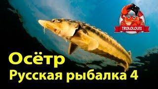Русская рыбалка 4  Осётр русский  Ахтуба рыбалка  Russian fishing 4