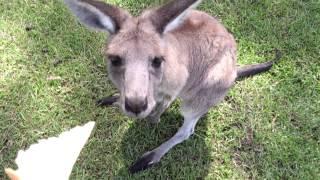 詳しい場所は忘れましたがオーストラリアで野生のカンガルーと触れ合っ...