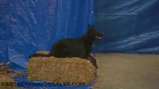 Iris von Prufenpuden 20 Mo's Black German Shepherd Halloween Agility Course Off Leash