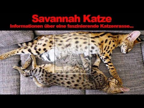die savannah katze eine kleine rassebeschreibung youtube. Black Bedroom Furniture Sets. Home Design Ideas