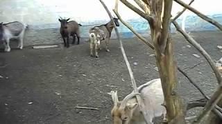 Почему коза общипала шерсть. Лизуха у камерунской козы.