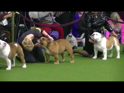 Bulldog Westminster dog show 2017