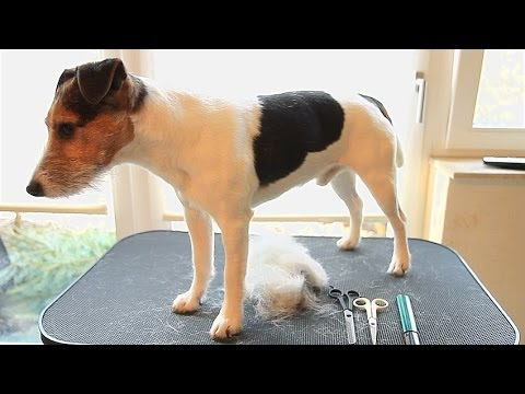 How to: trim & strip a Parson/Jack Russell Terrier