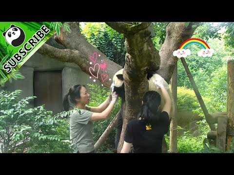Panda Fu Shun only wants to go home with pretty nannies!