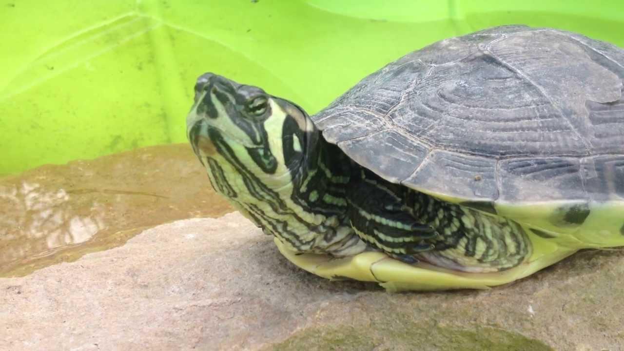 Grosses tortues de floride dans un jardin youtube - Bassin tortue floride strasbourg ...