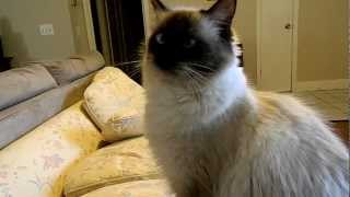 Sophie the Balinese cat