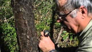 Εικόνες και video για εμβολιασμό-κέντρισμα αμυγδαλιάς με καλέμι