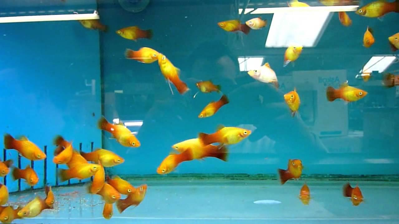 Sunset Platy – Xiphophorus Maculatus | Tropical Fish Site