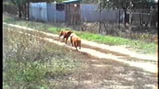 Dogue De Bordeaux - Bordeaux-i Dog - Training