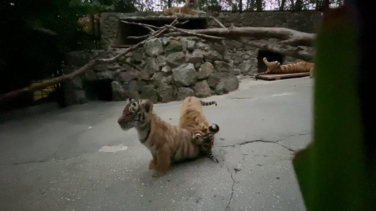 Вечерние игры тигрят Грозы и Амура!