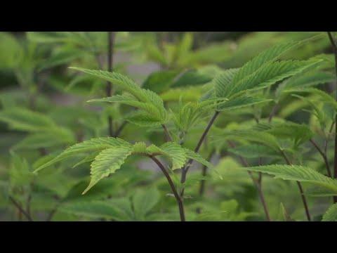 Billings dispensary cautions against 'get rich quick' idea of marijuana industry
