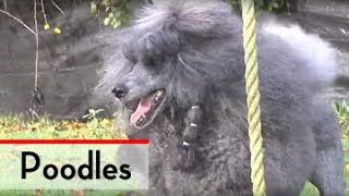 The Poodle  Bests of Breed