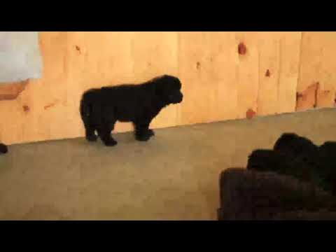 Newfoundland Puppies For Sale