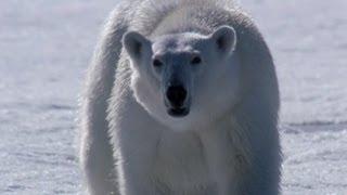 Polar Bear Hunting - The Polar Bear Family & Me - Episode 2 - BBC Two